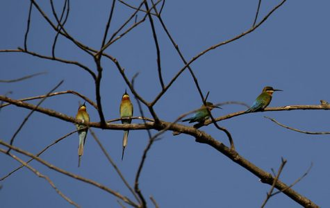 BAGO, Feb. 2, 2017 (Xinhua) -- Little green bee-eaters stand on a branch at the Moeyungyi Wetland Wildlife Sanctuary in Bago region, Myanmar, Feb. 2, 2017. Moeyungyi Wetlands is situated in Bago Division. Every year, millions of birds usually fly from the northern hemisphere to the south along the East-Asian Australian Flyway to escape from winter. They stop to rest and feed in Asia. So the flyway contains a network of wetlands and Moeyungyi is one of which could cooperate to certain migrated as well as domestic birds. (Xinhua/U Aung) Authorized by ytfs (Photo by Xinhua/Sipa USA)